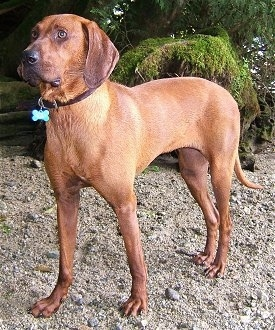 Side view - A Redbone Coonhound is standing across a dirt surface and it is looking to the left.
