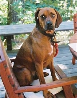 Side view - a Redbone Coonhound is sitting on a wooden chair on a porch and it is looking to the left.