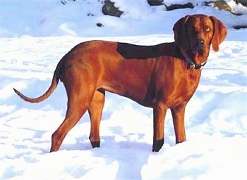Ellee Mae, the Redbone Coonhound at 2 1/2 years old
