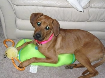 A tan Redbone Coonhound mix breed dog is wearing a hot pink collar laying in front of a white leather couch on top of a bright green with blue bean bag pillow with a yellow rope ball toy in front of its paws. It is looking up and its head is tilted to the right.