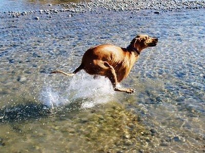 Action shot - The right side of a Rhodesian Ridgeback that is running through a body of water.