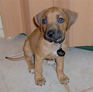 Zuri (Swahili for beautiful) the Rhodesian Ridgeback puppy at 8 weeks old