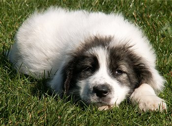 Ada the Bukovina Sheepdog Puppy laying down outside in grass and looking sleepily at the camera holder