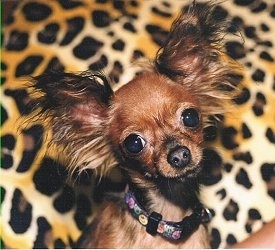 A brown and black Russian Toy Terrier is sitting in front of a cheetah print pillow. It has large perk ears with long fringe hair coming off of them.
