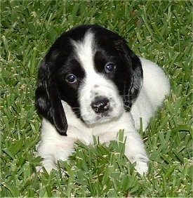 Front view - A small white with black Russian Spaniel puppy is laying in grass and its head is slightly tilted to the left.