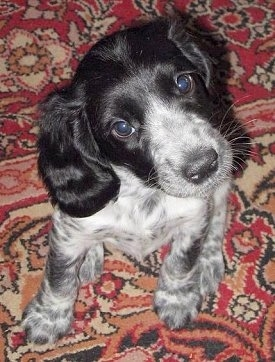 Top down view of a black and white Russian Spaniel Puppy that is sitting on a rug and its head is tilted to the left.