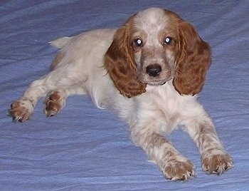 Front side view - A white with tan Russian Spaniel puppy is laying on a blue blanket looking forward.