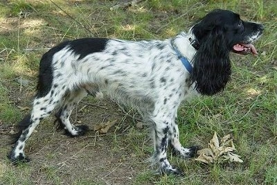The right side of a ticked black and white Russian Spaniel that is standing in grass and looking to the right. Its mouth is open and tongue is sticking out. The dog has long furry ears.