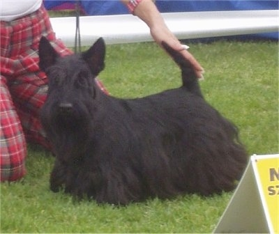 Kluska a 3 year old Scottish Terrier Champion of Poland