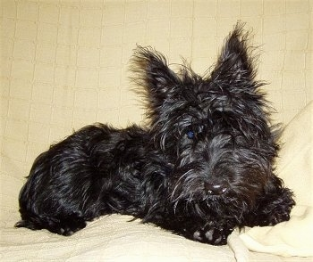 A scruffy looking, shiny coated, black Scottish Terrier puppy is laying on a bed and it is looking forward. It has perk ears and a shiny nose.