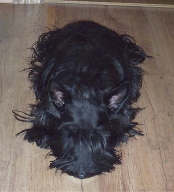 Front view - A black Scottish Terrier with a long coat is sleeping on a hardwood floor. The dog has large perk ears.