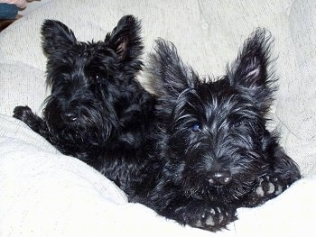 Two black Scottish Terriers are laying in a white pillow and they are looking forward. One dog has longer hair than the other. The fur on the dog's ears stick straight out.
