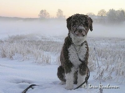 Front view - A thick, wavy-coated brown and white Spanish Water Dog is sitting outside in snow. It has snow all over its body. There is a fog of snow behind the dog. Its long hair on its face is covering up its eyes.