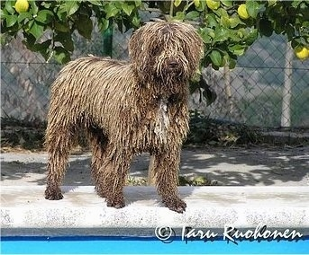 A wet, corded, brown with white Spanish Water Dog is standing next to a pool on a concrete surface. The dog has dreadlocks in its coat.