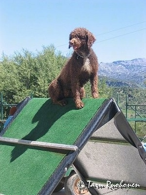 A curly coated, brown with white Spanish Water Dog is sitting at the top of an A-Frame agility obstacle. It is looking to the left, its mouth is open and tongue is sticking out.