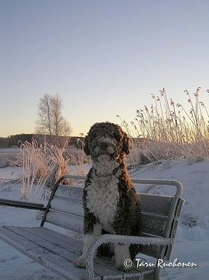 A brown with white Spanish Water Dog is sitting on a bench that is dusted in snow. The dog is covered in snow and it is looking forward.