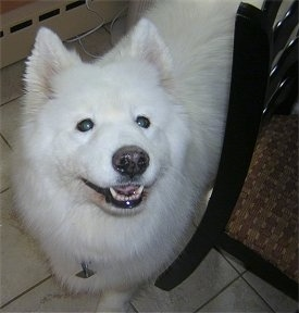 Close up - A white Samoyed is standing on a tiled floor and it is looking up. Its mouth is slightly open and it looks like it is smiling. Its coat is very white and its nose is black.