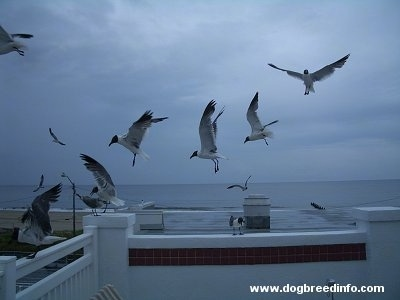 Seagulls in flight about to land on a wall