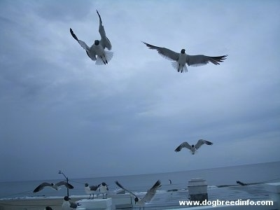 Four Seagulls flying and about to land on a wall with five other seagulls