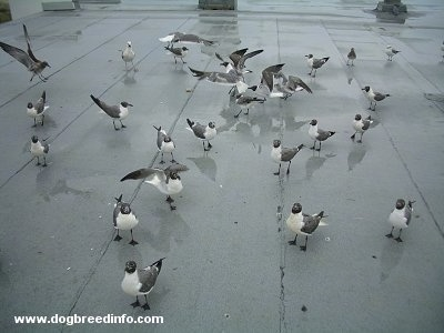 Seagulls standing on a roof top. Some have there wings out. Most do not