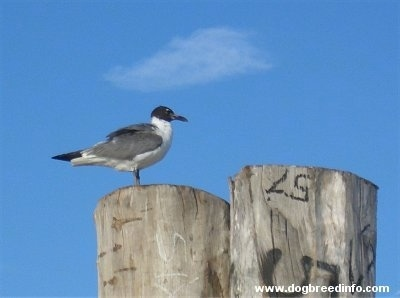Seagull Standing on a wooden pillar coming out of the water