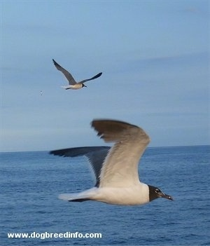 Two Seagulls flying over the Atlantic Ocean