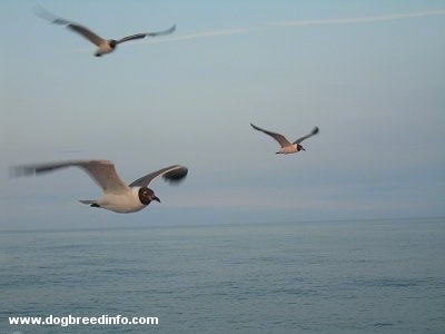 Three Seagulls flying over the Atlantic Ocean