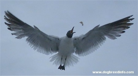 Seagull trying to catch a piece of bread in its mouth