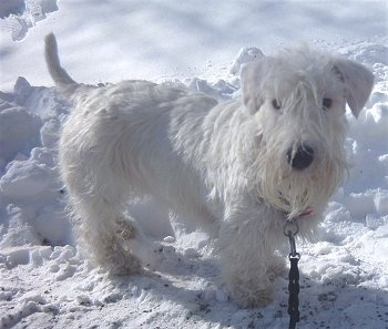 Side view - A white Sealyham Terrier dog is standing on snow and it is looking forward. It has longer hair on its face and ears that fold over to the front in a v-shape.