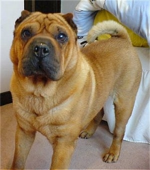 Front side view - A tan Shar Pei is standing on a carpet in front of a bed and it is looking forward. It has a large square muzzle, a big head, round eyes and very small pointy ears. Its tail is curled up over its back.