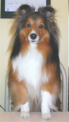 Close up front view - A soft looking brown, black and white Shetland Sheepdog is standing up against a table and it is looking forward.