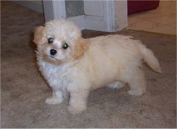 Pumpkin the Chacy Ranior puppy is standing on a carpeted floor and its head is tilted to the right