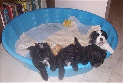 Four Chacy Ranior Puppies are standing on the edge of a pool. There are a couple other puppies laying under them