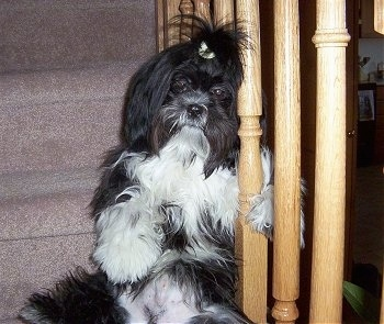 A long coated, black with white Shih-Tzu is sitting on a carpeted step, its paw is wrapped around the stairs railing.