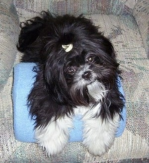 Close up - A long coated, black with white Shih-Tzu is laying across the seat of a recliner, its head is tilted to the left and it is looking forward.