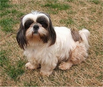 A white with black Shih-Tzu dog sitting across a grass surface, it is looking up and forward. It has longer hair on its dark ears.