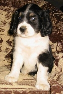 Front view - A black and white with tan Shockerd puppy is sitting in an arm chair and it is looking to the left. Its nose is black and its eyes are dark and its ears are long and soft looking.