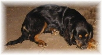 Side view - A black with tan Shockerd dog is sleeping across a dirt surface.