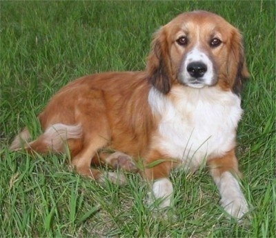 Front view - A red with white and black Shockerd dog is laying across a field and it is looking forward. It has medium-length hair and long, soft lookking drop ears. Its eyes are brown and almond-shaped and its nose is black.