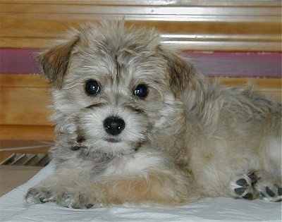 Close up - A fluffy little tan, white and grey Silkland Terrier puppy is laying on top of a blanket and it is looking forward. It has wide round eyes, a black nose and small fold over v-shaped ears.