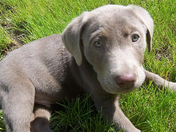 A small silver Labrador Retriever puppy is laying in grass and looking up.