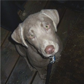 A Silver Labrador Retriever puppy is sitting on a wooden porch and looking up.