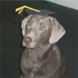 A Silver Labrador Retriever is sitting on a dark gray carpet and it is wearing a black and yellow cardboard graduation hat.