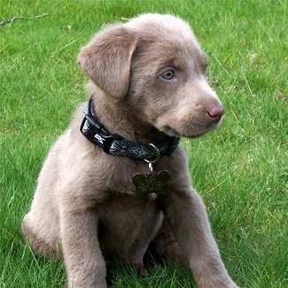 A small silver Labrador Retriever puppy is sitting in grass and looking to the right.