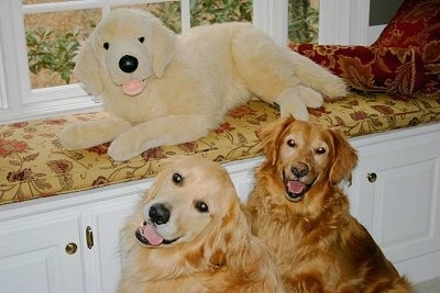 A plush Golden Retriever dog doll is laying across a bench that is built into the wall. In front of it are two real Golden Retrievers sitting and looking forward. The dogs mouths are open and tongues are out and it looks like they are smiling.