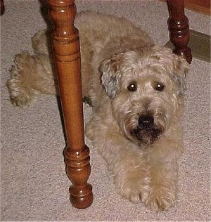Kozmo, the Soft Coated Wheaten Terrier