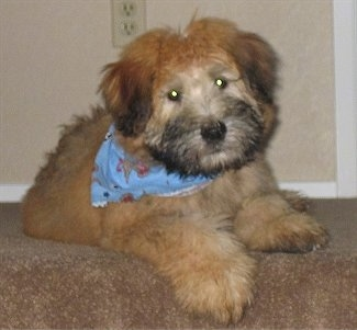 Front view - A thick coated, brown with black Soft Coated Wheaten Terrier puppy is laying at the top of a carpeted staircase, it is wearing a blue bandana, its head is slightly tilted to the left. It has darker hair on its muzzle and a black nose.