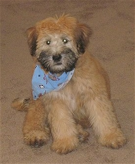 3 month old Soft Coated Wheaten Terrier named Teddy