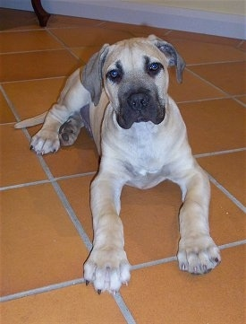 Moose the Boerboel puppy laying on a red tiled floor