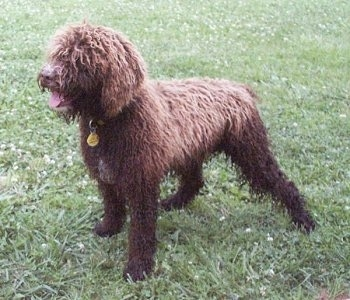 The left side of a thick-coated, curly-haired, brown with white Spanish Water Dog that is standing outside in grass looking to the left, its mouth is open and its tongue is sticking out. Its long hair is covering up its eyes.
